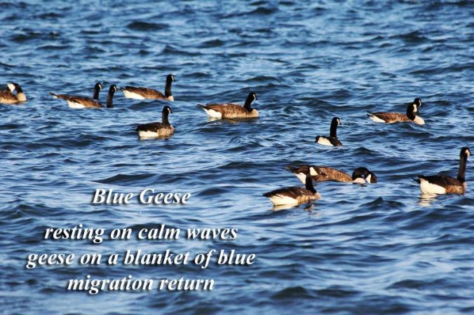 Blue Geese