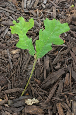 tiny oaks_1