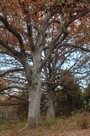 tiny oaks_2