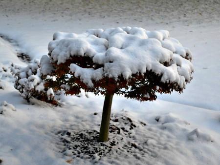 maple tree in white