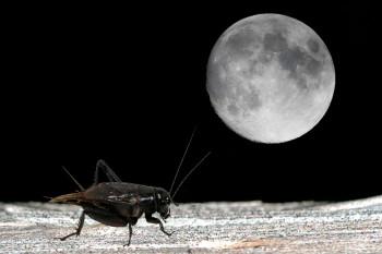 cricket-serenades