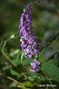 scent of lavender.jpg