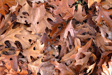 oak-leaves-turning-brown