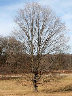 maple-standing-bare