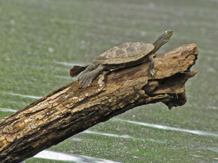 turtle slips from log