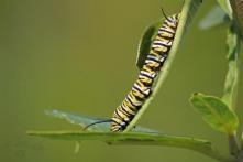 Monarch Muncher 1 - Monarch caterpillar on Milkweed