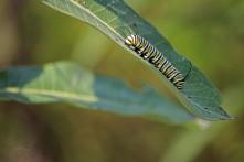 Monarch Muncher 2