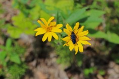 Black & Yellow - Great Black Wasp