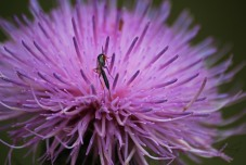 Tall Thistle with Ichneumon Wasp