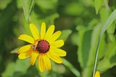 Leatherwing - Pennsylvania Leatherwing Beetle