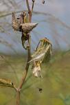 Milked Out - Milkweed Bug
