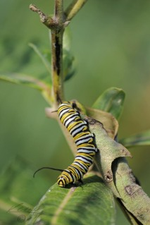 Royalty - Monarch Caterpillar on Milkweed