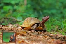 Turtle-busting Cricket - Three-toed Box Turtle