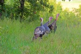 Trotters - Wild Turkeys