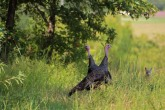 Turkey Stalker (coyote in background)