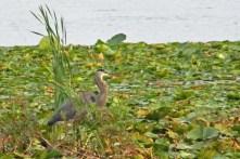 Wisconsin Lake Blue Heron
