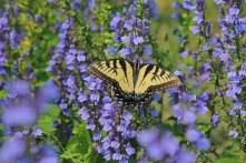 Wisconsin Lake Swallowtail