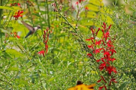 Wisconsin Lake Hummingbird
