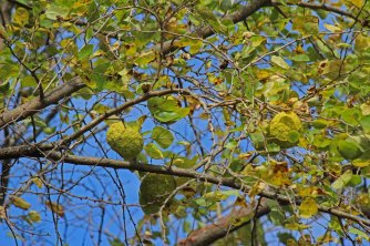 Osage Orange Tree, or Hedge Tree
