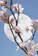 moonlight on blossom.jpg
