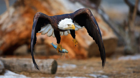 talons grasping prey