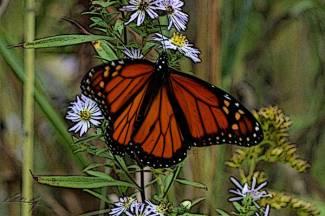 monarch flying free_1