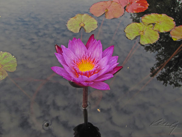 water lily glows