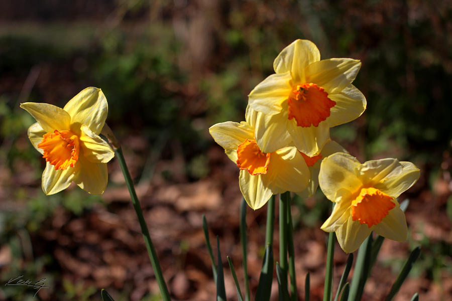 and daffodil nods