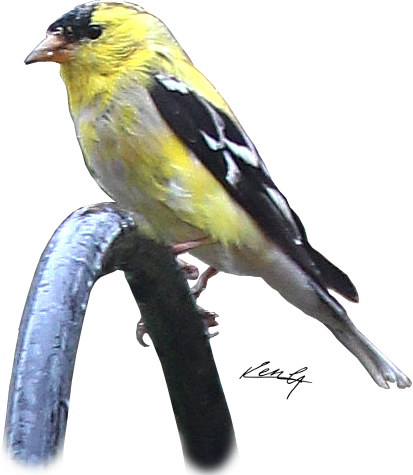 goldfinch feeds_a